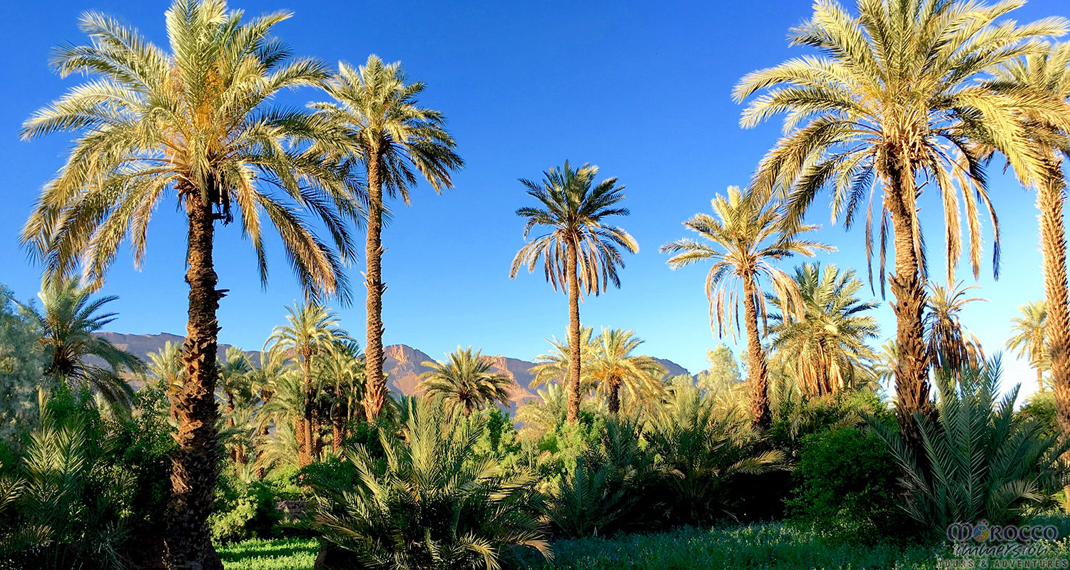 Palms in Draa Valley Desert